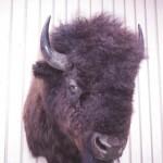 Bison_heads