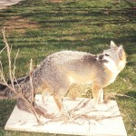 Gray Fox Taxidermy