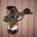 Green Wing Teal Taxidermy