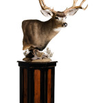Deer Taxidermy