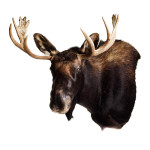 Moose Head Mount