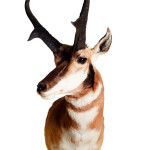 Antelope Head Mount