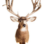 Deer Head Mount Taxidermy